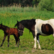Mare with a foal in a meadow — Foto de Stock