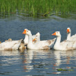Goose family on the wather — Stock Photo