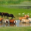 Stock Photo: Cows and horses on river