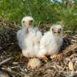 Falco Vespertinus on the nests — Stock Photo