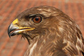 The portrait of predator buzzard — Stock Photo