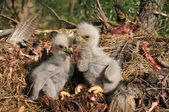 An eagle two on the nest — Stock Photo