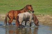Horses on river — Stock Photo