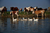 Cows and horses on river — Stock Photo