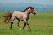 Stallion running across the field — Stock Photo