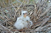 White heron chiks on the nest — Stock Photo