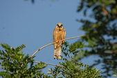 Falco Vespertinus — Stock Photo