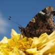 Butterfly on flower - Photo