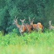 Deer in the meadow - Stock Photo