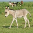 Grey little donkey on pasture - Stock Photo