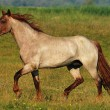 Stallion in the field - Stock Photo