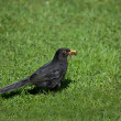 Blackbird with worms — Stock Photo