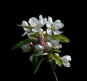 Fiore di melo — Foto Stock