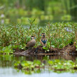 Stock Photo: Hottentot Teal