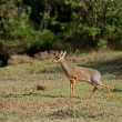Stock Photo: Kirk's dik dik