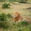 Lion on Masai Mara — Stock Photo #6398072