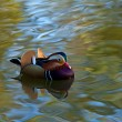 Stock Photo: Mandarin Duck
