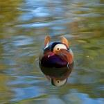 Mandarin Reflection head on — Stock Photo
