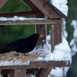 Stock Photo: Blackbird in Snow