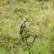 Stock Photo: Common Cuckoo Juvenile