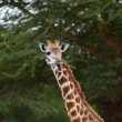 Stock Photo: Giraffe head shot