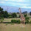 Giraffe on Masai Mara — Stock Photo #6399357