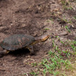 Kenya Terrapin — Stock Photo