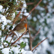 Robin on hedge in snow — Stock Photo