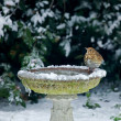 Song Thrush on bird bath in snow — Stock Photo