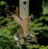 House Sparrows — Stock Photo