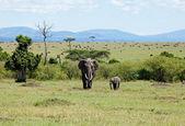 マサイマラ国立保護区の象 — ストック写真