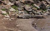 Krokodyl na brzegu rzeki mara — Zdjęcie stockowe