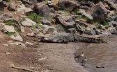 Crocodile sur la rive de la rivière mara — Photo