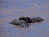 Hippos in river — Stock Photo