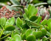 Kenya Grasshopper — Stock Photo