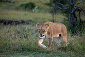 Snarling Lioness on the Masai Mara — Stok fotoğraf