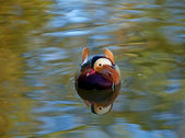 Mandarin Reflection head on — Stock Photo