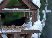 Blackbird in Snow — Stock Photo