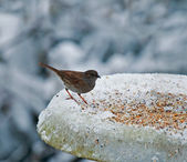 Dunnock on snowy feeder — Stock Photo