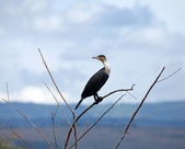 Great Cormorant — Stock Photo