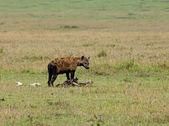 Hiena manchada sobre canal — Foto de Stock