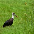 Woolly-necked Stork — Stock Photo