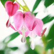 ������, ������: Bleeding Heart