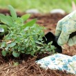 Planting Herbs — Stock Photo