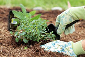 Planting Herbs — Stock Photo