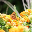 Great Spangled Fritillary Butterfly — Stock Photo #5873041