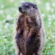 Royalty-Free Stock Photo: Groundhog