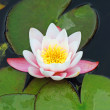 Pink water lilly — Stock Photo #5899559