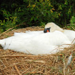 Stock Photo: White swan lying on nest