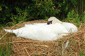 White swan lying on nest — Stock Photo